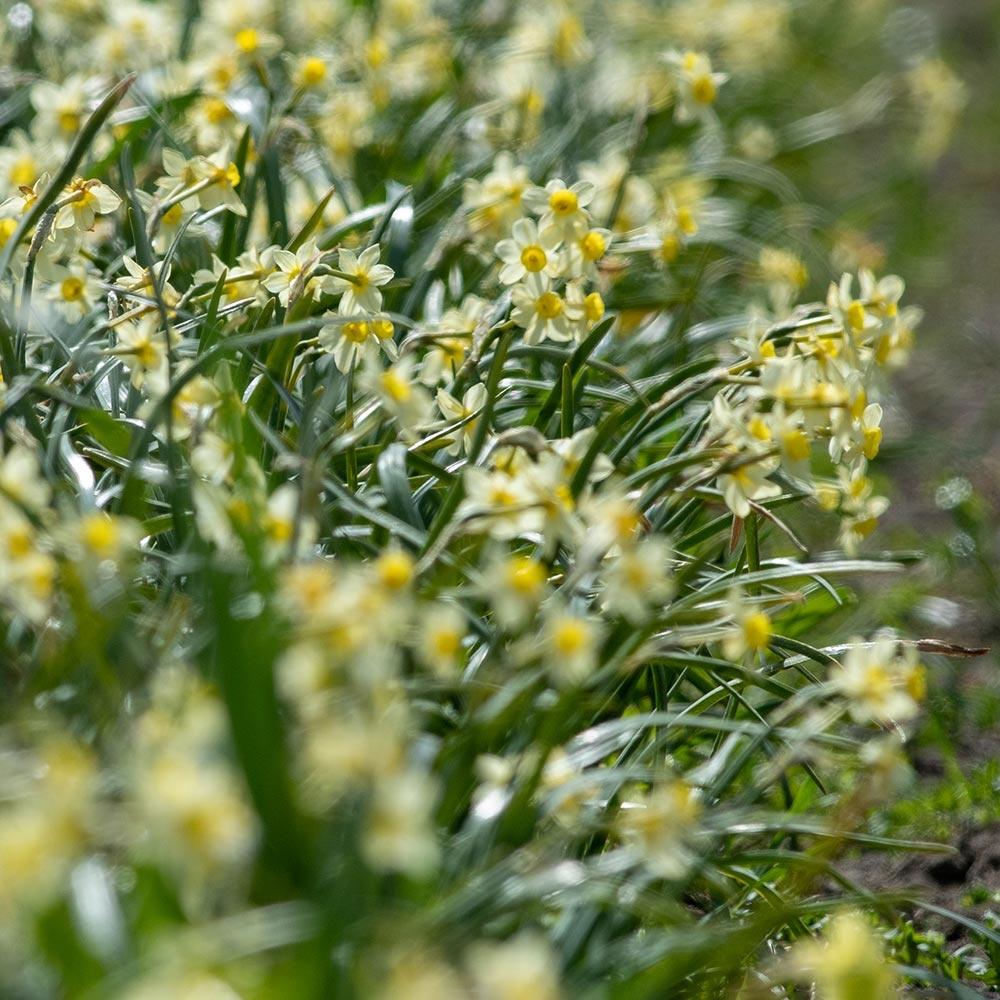Narcis 'Minnow' - 10 stuks