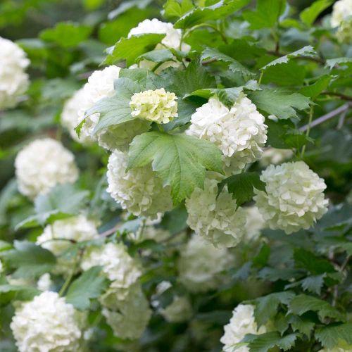 gelderse roos