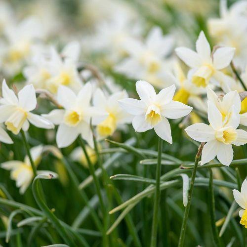 Biologische bloembol Narcis 'Sailboat' - 10 stuks
