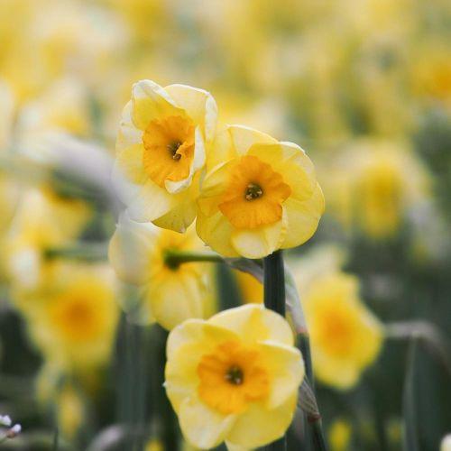 Narcis 'Sundisc' biologische bloembol