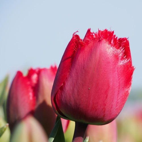 Biologische bloembol Tulp 'Masterpiece' - 10 stuks