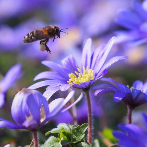 Biologische bloembol Blauw Anemoontje - 10 stuks