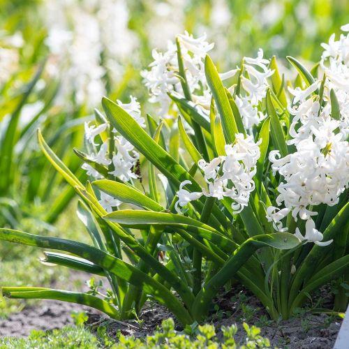 Biologische bloembol Spaanse boshyacint wit - 10 stuks