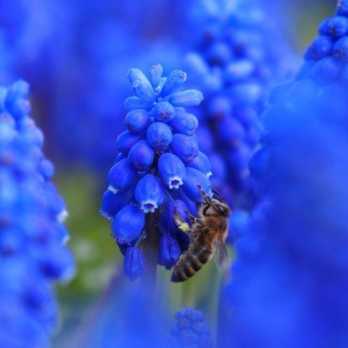 Biologische bloembol Blauw druifje - 10 stuks