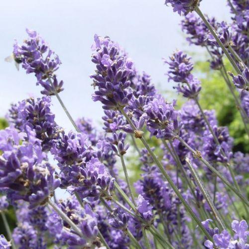 Lavendel 'Hidcote' - 8 pack