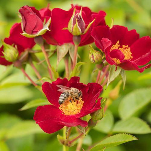 Bijenweelde Rood