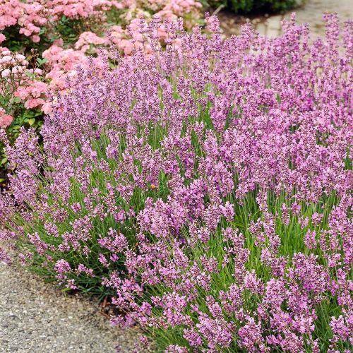 Roze lavendel - 8 pack