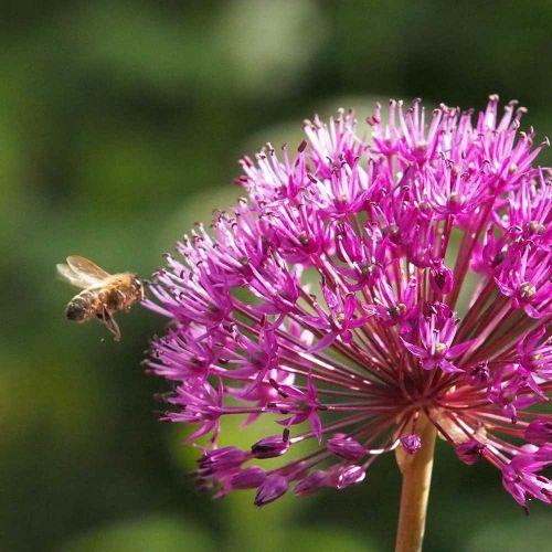 Biologische Allium Purple Sensation