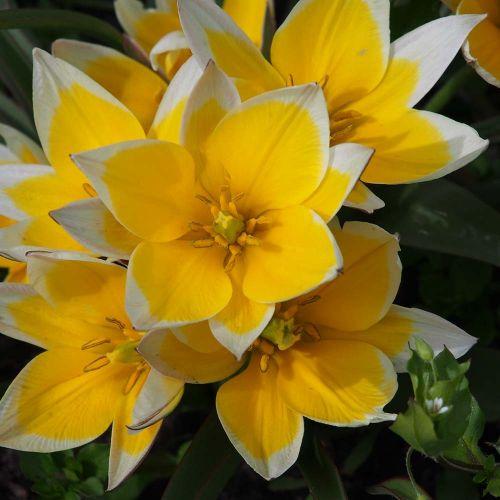Biologische Tulp 'Tarda'