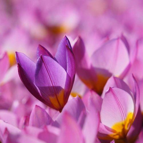 Biologische Tulp 'Lilac Wonder'